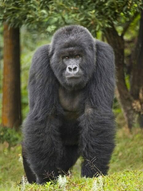 Mike Tyson enfrentaria um gorila das montanhas. Essa espécie chega a pesar 250 quilos