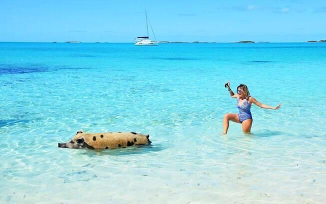 Em Pig Beach, o turista pode nadar com porcos gigantes