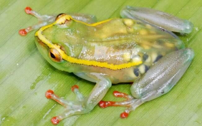 Por estar entre um dos animais transparentes, alguns órgãos da rã de vidro podem ser vistos
