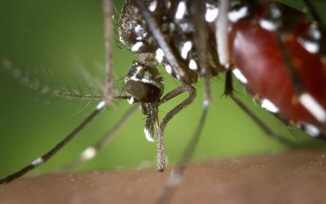 Mosquito Aedes aegypti pode transmitir doenças como dengue, chikungunya e o zika vírus