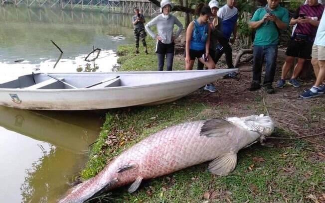Peixe da espécie Arapaima, natural da Amazônia, foi encontrado em lago de parque na Malásia