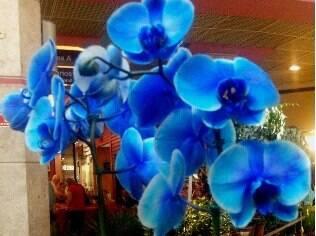 A orquídea da espécie phalaenopsis, colorida em azul, é um dos destaques na Penha
