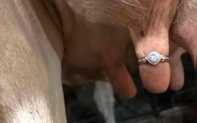 Para fazer pedido de noivado, o fazendeiro colocou o anel na teta da vaca e causou um alvoroço nas redes sociais