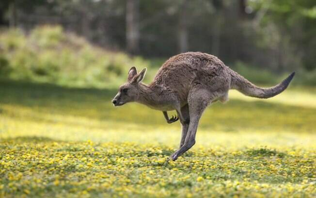 Canguru invade partida de futebol de campo na Austrália
