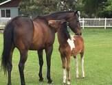 """Cavalo resgatado torna-se """"pai"""" de uma órfã"""