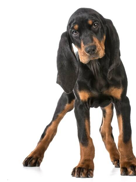 É um cão de grande porte conhecido pela sua capacidade de farejador