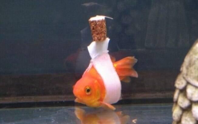 Peixe dourado deficiente que não conseguia se manter reto ganhou ajuda para conseguir nadar