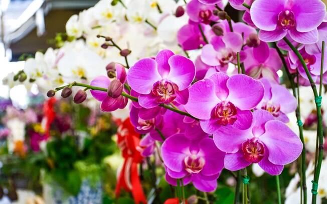 As orquídeas são plantas nobres