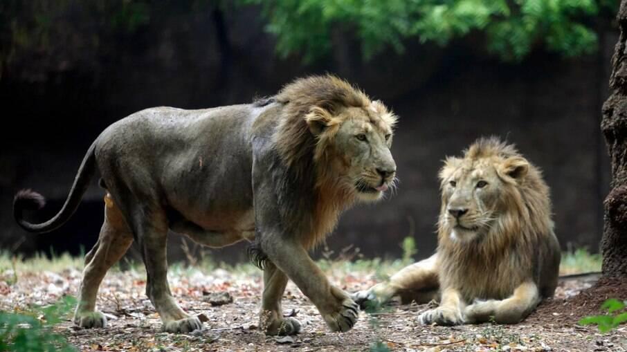Um leão morreu em decorrência do novo coronavírus, na Índia