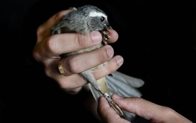 Uma das atividades da Polícia Militar Ambiental é o combate ao contrabando e venda ilegal de animais silvestres. Nessa foto o PM verifica se os dados da anilha  do pássaro batem com a documentação do criador