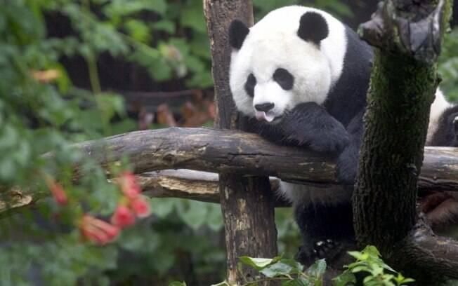 Nova pesquisa descobriu que pandas têm manchas pretas e brancas para facilitar camuflagem e comunicação