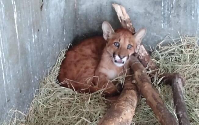 Bosque de Campinas transfere filhote de onça-parda nesta quarta