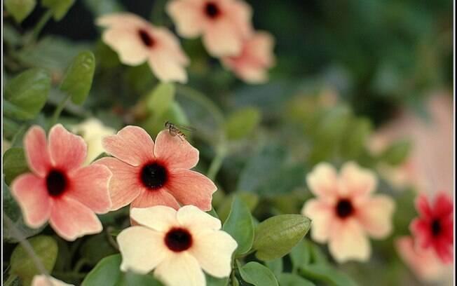 A flor Suzana-de-olhos-negros (Thunbergia alata)é uma opção de plantas pendentes