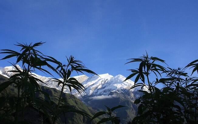 Pés de maconha no Nepal. A erva usada na China também tinha origem em grandes altitudes