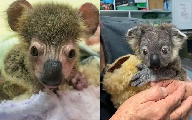 O filhote de coala tinha apenas 275 gramas quando foi resgatado; hoje está com 1 Kg