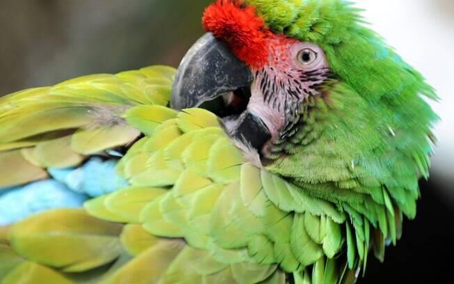 O piolho causa muita coceira na ave, que fica muito agitada e se bica para se livrar do incômodo