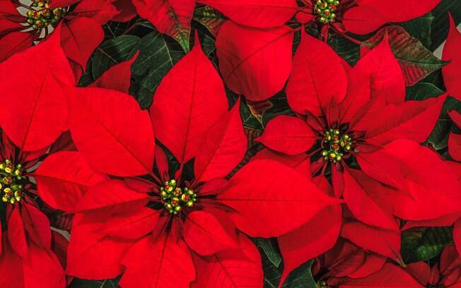 A Planta de Natal ou Poinsétia é comumente utilizada em decorações natalinas por causa de suas folhas bem vermelhas. Ela traz bastante vida e cor para ornamentos da casa