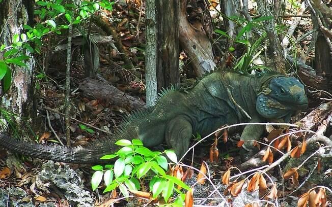 No Parque Botânico Queen Elizabeth, é possível ver animais como a iguana azul e ter muito contato com a natureza