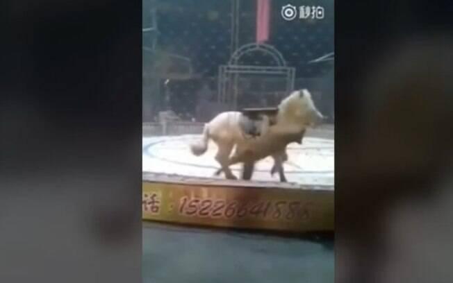 Tigre e leão atacam cavalo ao mesmo tempo em picadeiro de circo em Hebei, na China