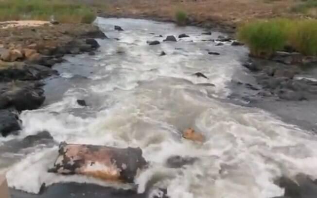 Assustado, leão levou algum tempo para conseguir voltar para cima da carcaça de hipopótamo