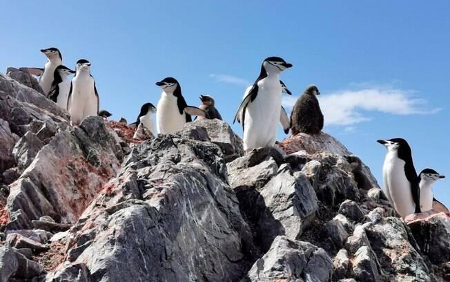 Pinguins-de-barbicha estão morrendo de fome na Antártida