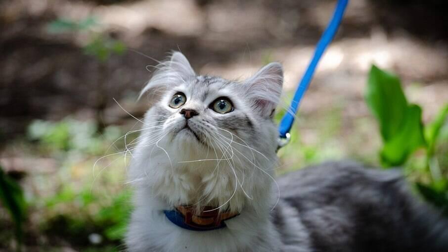 Passeio com gatos depende do quão habituado o felino está para sair de casa e para o uso de coleira