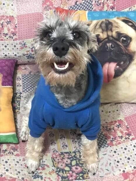 cachorro que foi resgatado vestido com roupa azul em cima de uma almofada