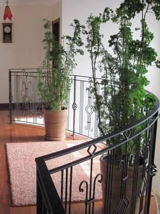 A árvore-da-felicidade é um arbusto de meia-sombra que pode chegar a 5 metros de altura