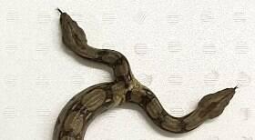 Cobra de duas cabeças devora dois animais em poucos minutos