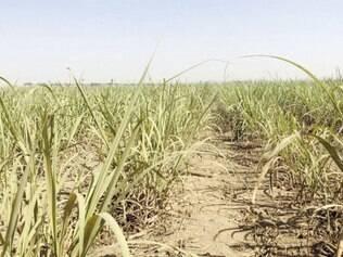 Cana. Foram processadas 44,05 milhões de ton no Centro-Sul do país na segunda quinzena de junho
