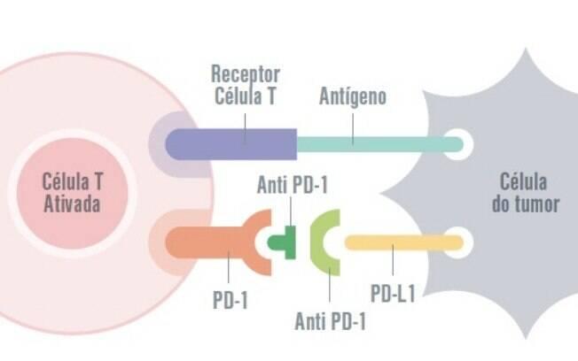 Bloqueio do receptor anti-PDL1 por anticorpo específico impede essa ligação e restaura a capacidade de destruir o tumor