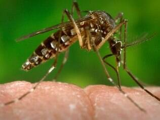 Mosquito Aedes aegypti transmite o vírus Zika e também a dengue e a febre chikungunya