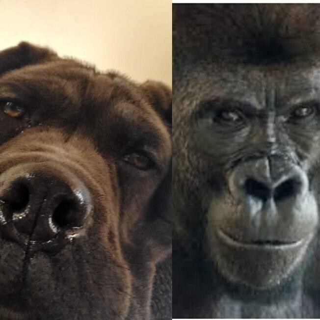 cão e gorila