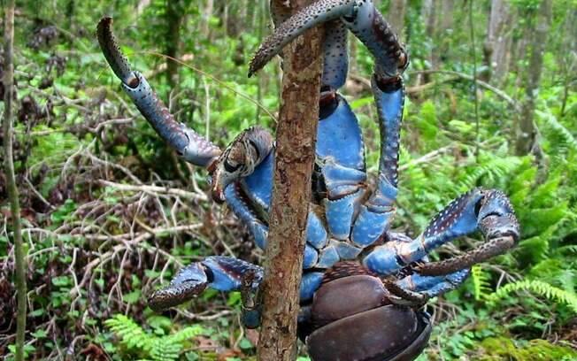 Caranguejo-dos-coqueiros