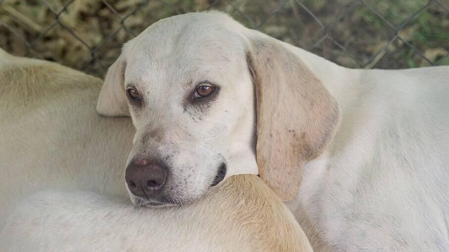 Os cães da raça Billy são muito apegados aos humanos