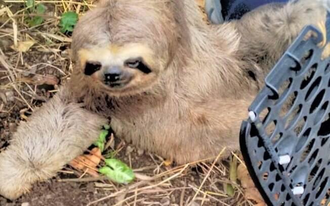 Bicho-preguiça foi resgatado em Valinhos.
