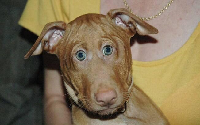 Cachorro com os olhos na frente.