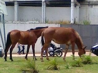 Animais se alimentavam da grama de uma rotatória no bairro Estoril.