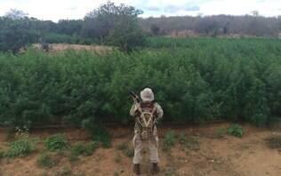 Após denúncia, polícia encontra plantação com 115 mil pés de maconha na Bahia