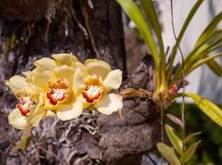 Como epífita, a espécie cymbidium também consegue se desenvolver no tronco de árvores