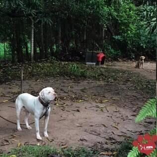 Cachorros que seriam usados em rinha de cães acorrentados em chácara, um branco em primeiro plano e um caramelo ao fundo