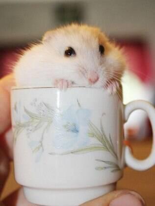 O hamster é muito requerido nas residências por não dar muito trabalho