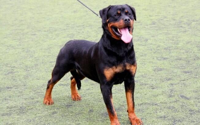 O Rottwailer é uma das raças de cães de guarda mais famosas do Brasil