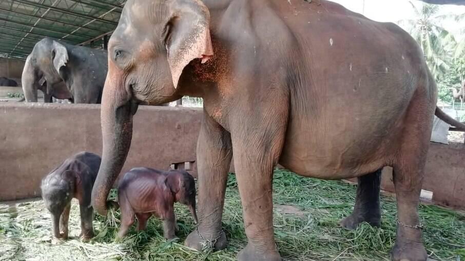 Nascimento de elefantes gêmeos