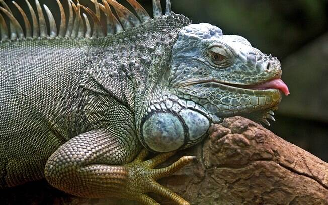 A iguana é um dos animais silvestres mais populares