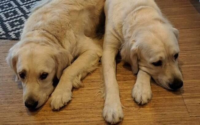 Os Goldens Colby e Blue se aproveitam de Chloe para ganhar mais petiscos