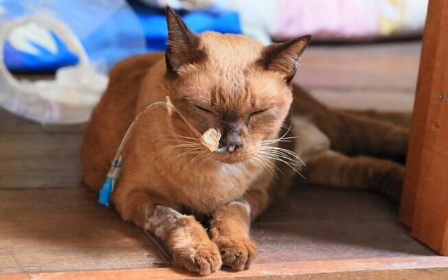 O linfoma felino não tem cura, mas se for diagnostica cedo pode ser removido cirurgicamente