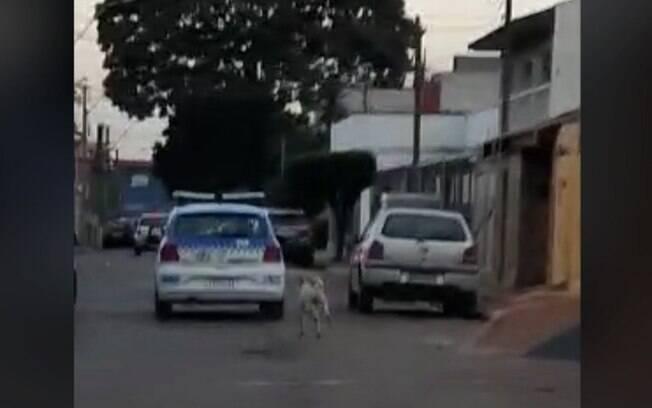Cachorro segue viatura após dona ser presa com drogas em Americana