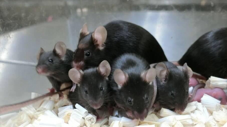 Amostras de sêmen de ratos congeladas no espaço geram ninhada saudável )