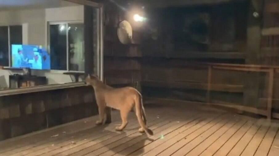 Puma perto de casa nos Estados Unidos assustou moradora